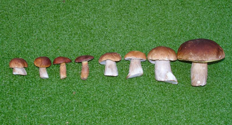 Leccinum mushrooms. Hand picked Leccinum mushrooms in order from smallest to largest on a green background stock photography