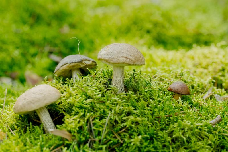 Leccinum scabrum Boletaceaeis在青苔的一个可食的蘑菇 库存照片