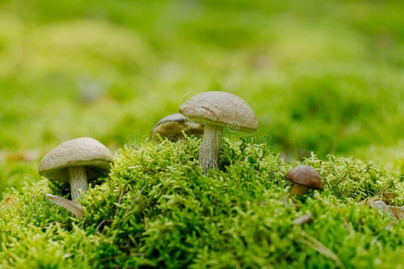 Leccinum scabrum Boletaceaeis an edible mushroom in the moss stock images
