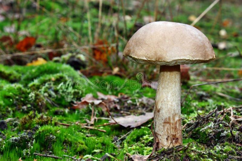 Leccinum scabrum mushroom stock photos