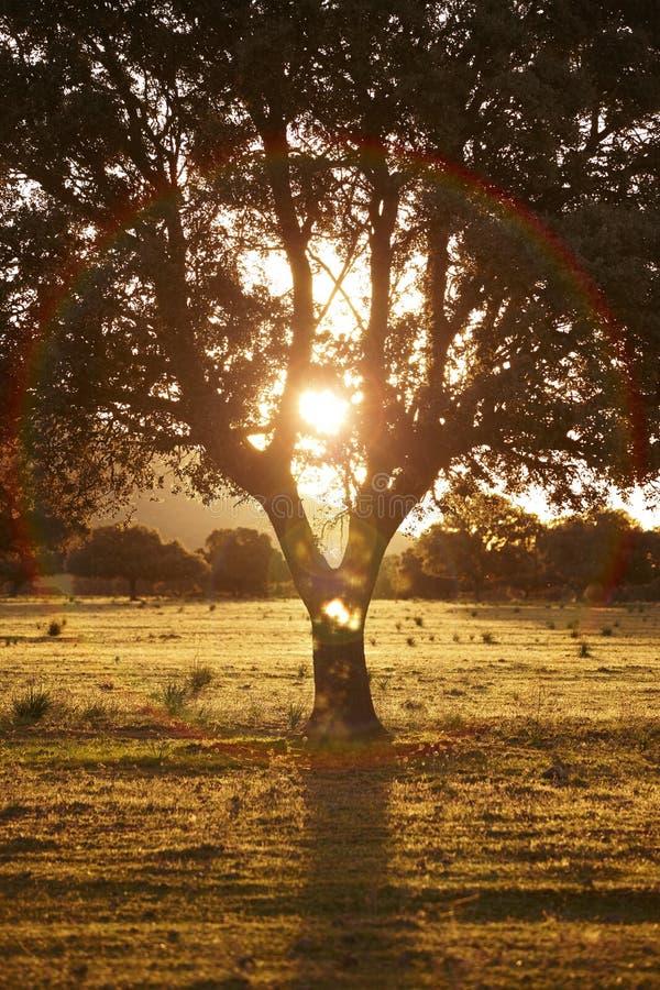 Leccio della quercia, ilex in un parco mediterraneo di Cabaneros della foresta, Spagna fotografia stock