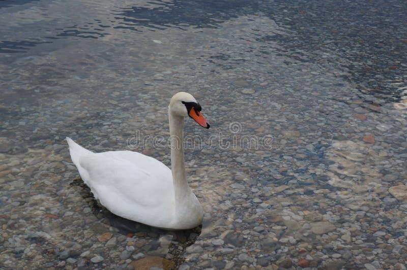 Lecco, cisne no como& x27; lago de s, Italia imagens de stock