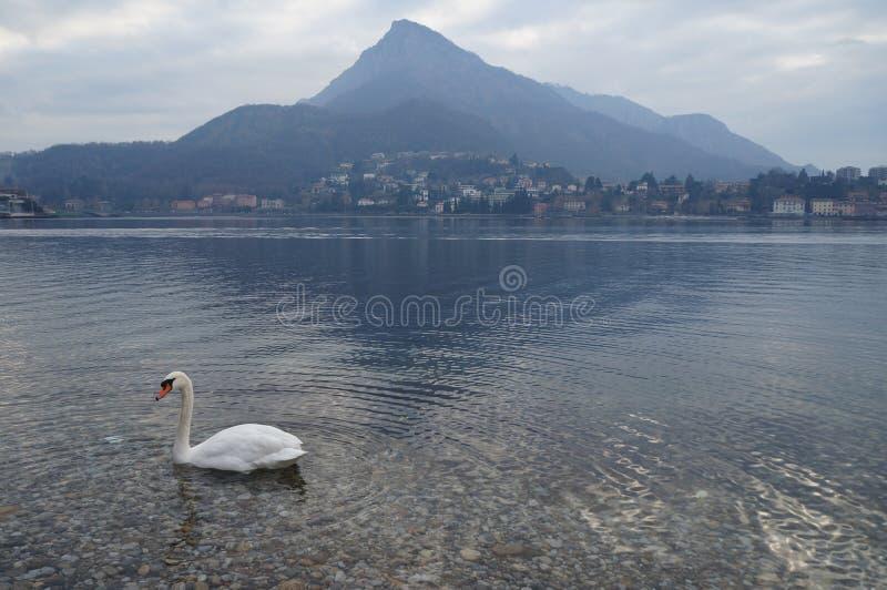 Lecco, cisne no como& x27; lago de s, Italia imagem de stock royalty free