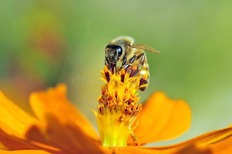 Lechón de la miel imagen de archivo