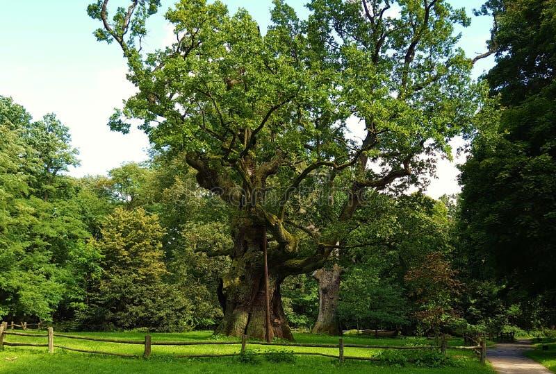 LECH Wokoło siedemset lat dębowego drzewa zdjęcie stock