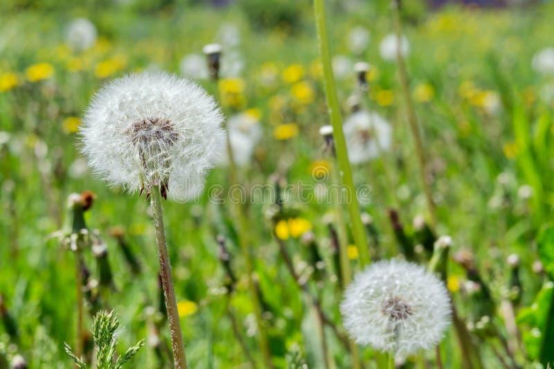 Leche-bruja mullida descolorada de los floretes del diente de león gowan en un fondo de un prado floreciente foto de archivo