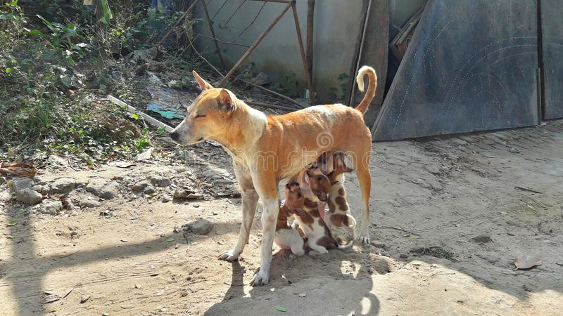 Leche de alimentación del perro de la madre a sus perritos imágenes de archivo libres de regalías