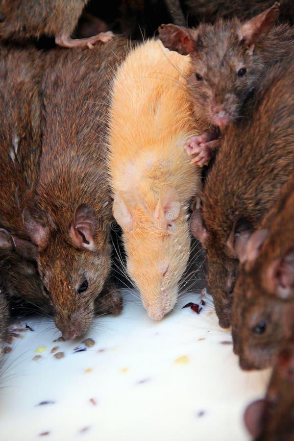 Leche de consumo de las ratas santas, Karni Mata Temple, la India imagen de archivo