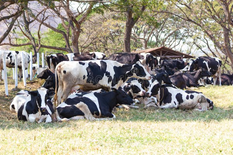 Leche de vaca del grupo en una granja que come el heno en establo en la granja lechera fotografía de archivo