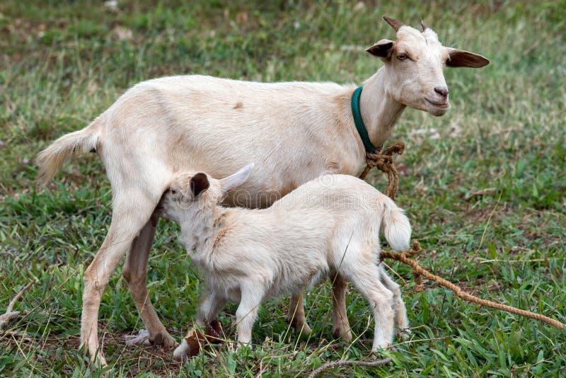 Leche recién nacida de la cría de la cabra del bebé de la madre imagenes de archivo