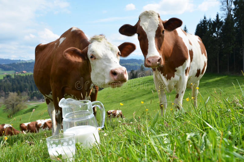Leche y vacas fotografía de archivo libre de regalías