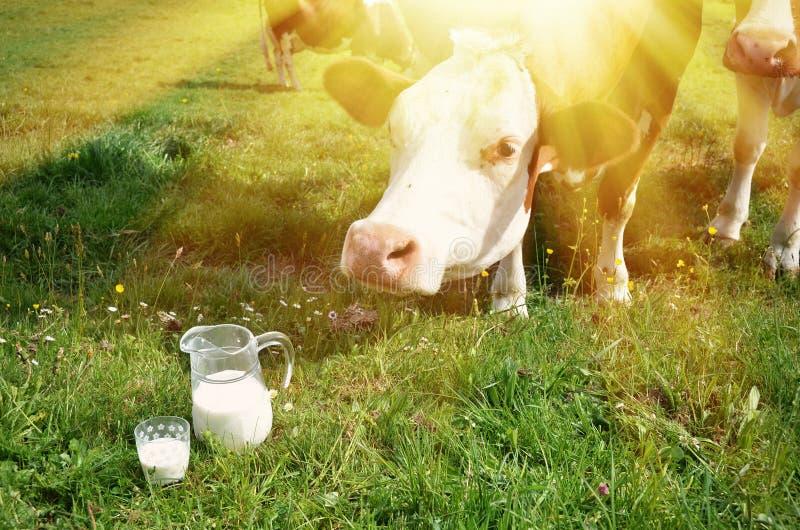 Leche y vacas fotos de archivo libres de regalías