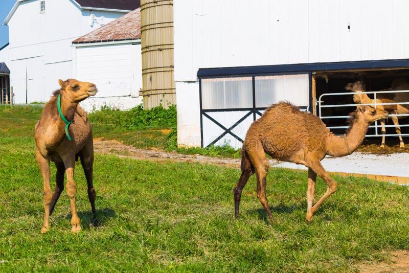 Lechería del camello del condado de Lancaster foto de archivo libre de regalías