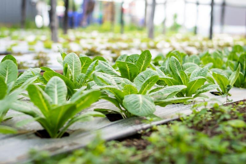 Lechuga Cos verde en la granja, comida sana de la ensalada de las verduras fotos de archivo libres de regalías