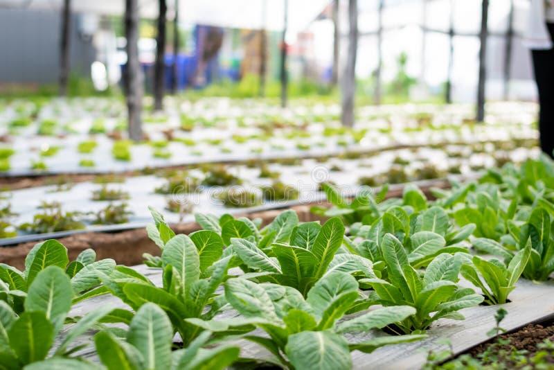 Lechuga Cos verde en la granja, comida sana de la ensalada de las verduras imágenes de archivo libres de regalías