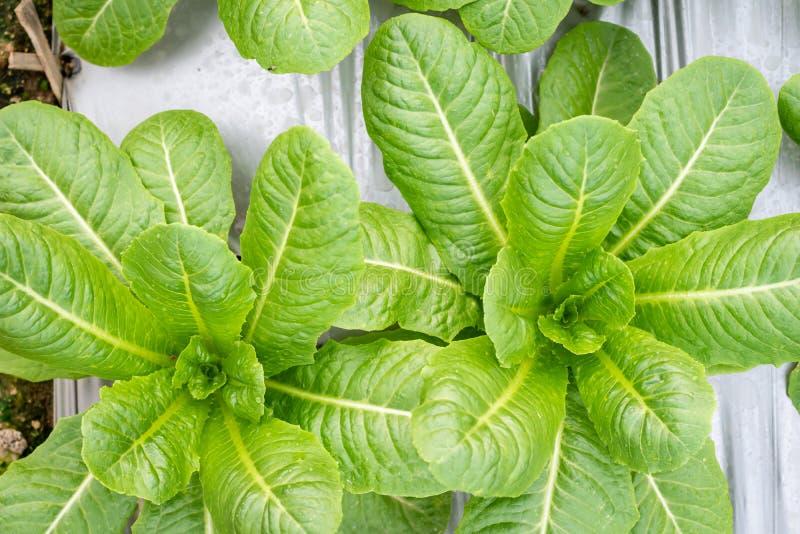 Lechuga Cos verde en la granja, comida sana de la ensalada de las verduras fotografía de archivo libre de regalías