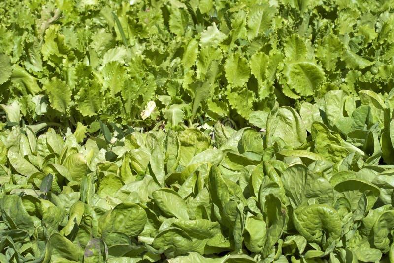 Lechuga creciente en filas en el jardín vegetal imagenes de archivo