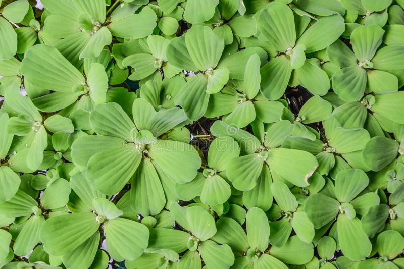 Lechuga de agua - tailandesa llamó ' Dok Jok' es una pequeña mala hierba del agua Viva junto como grupo que flota en la superfici imagenes de archivo