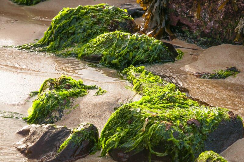 Lechuga de mar fotografía de archivo