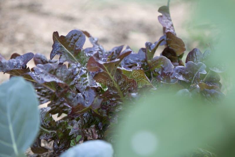 Lechuga en el jardín fotografía de archivo