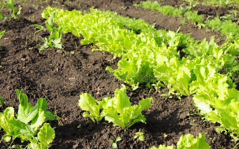 Lechuga: plantando, creciendo, y cosecha de lechuga de la ensalada en jardín foto de archivo