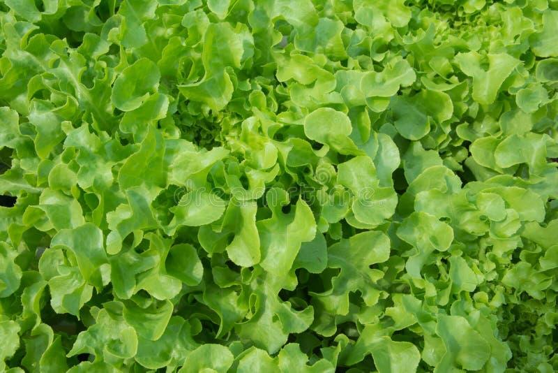 Download Lechuga Producida Con Métodos Orgánicos Imagen de archivo - Imagen de negocios, granjeros: 64208145