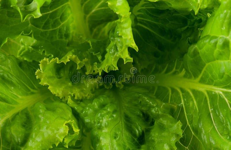 Lechuga verde fotografía de archivo