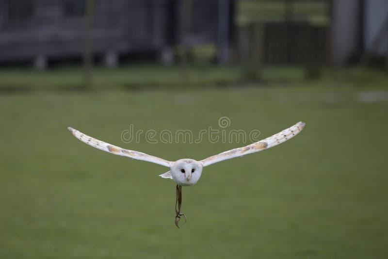 Lechuza común en vuelo fotografía de archivo
