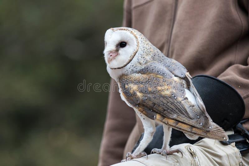 Lechuza común linda, Tyto alba, con los ojos grandes y los parecer de la cara un corazón que se sienta en un revestimiento de su  foto de archivo