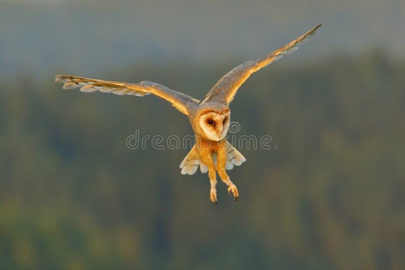 Lechuza común, pájaro ligero agradable en vuelo, en la hierba, alas extendidas, escena de la fauna de la acción de la naturaleza, imagen de archivo libre de regalías