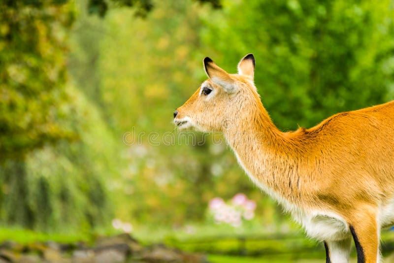 Lechwe fêmea bonito Leche do Kobus imagem de stock
