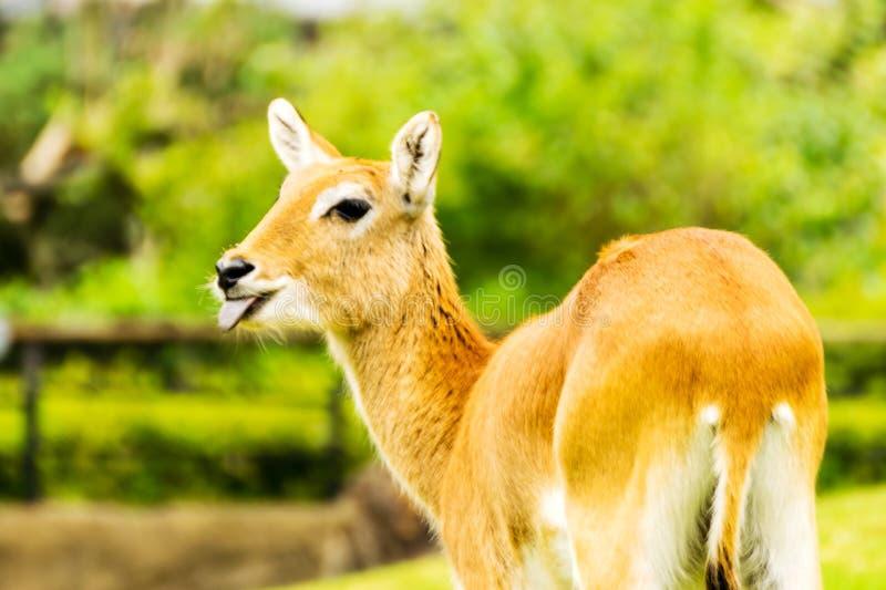 Lechwe fêmea bonito Leche do Kobus fotografia de stock
