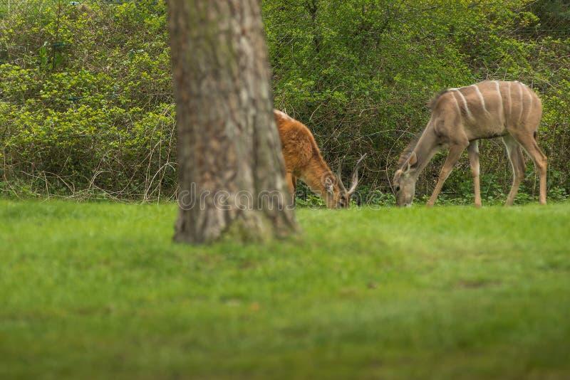 Lechwe (Kobus leche) is een antilope van de soort waterbuck stock afbeeldingen