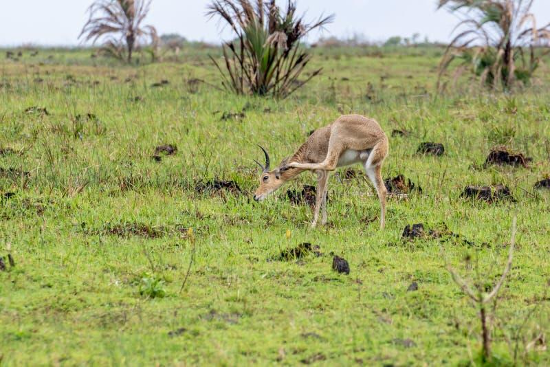 Lechwe ( Kobus leche) , genomen in Zuid-Afrika stock foto