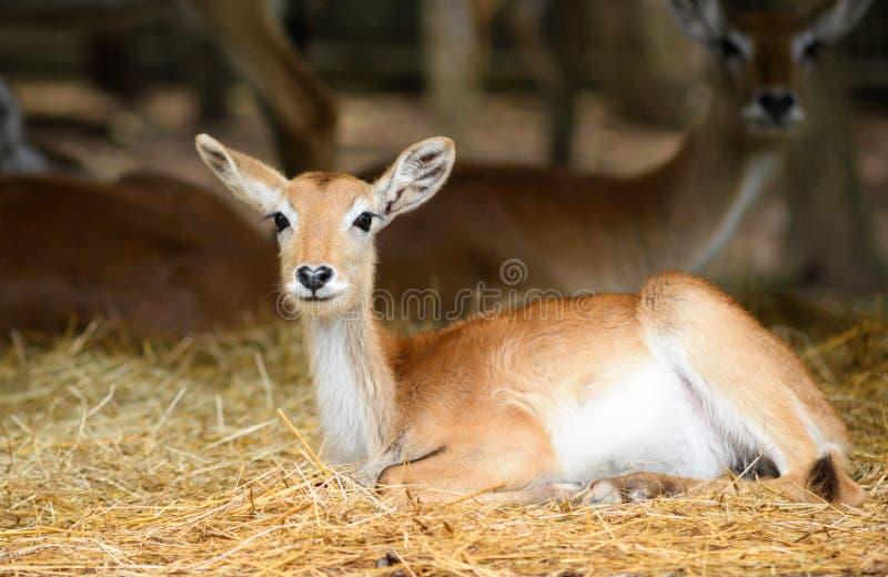 Lechwe vermelho do beb? fotos de stock royalty free