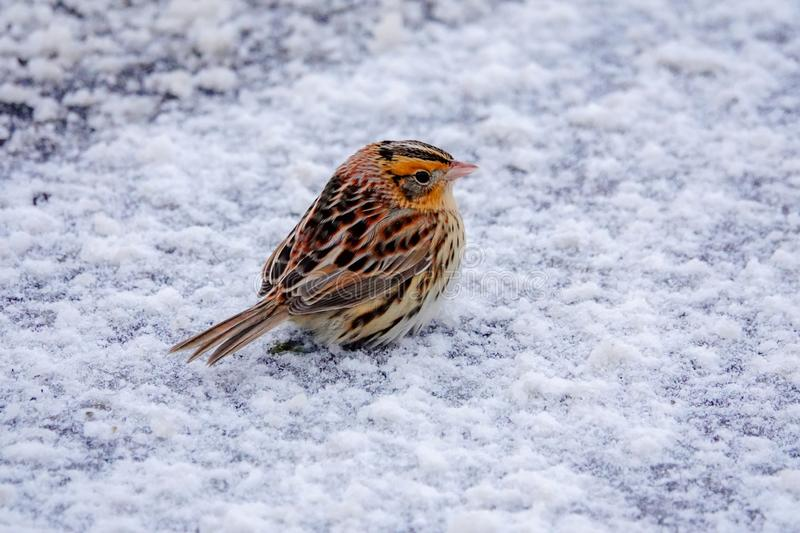 LeConte`s Sparrow in the Snow royalty free stock photos