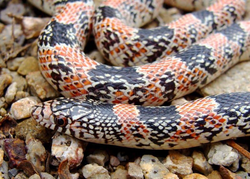 lecontei длиной обнюхало змейку texas rhinocheilus стоковые изображения rf