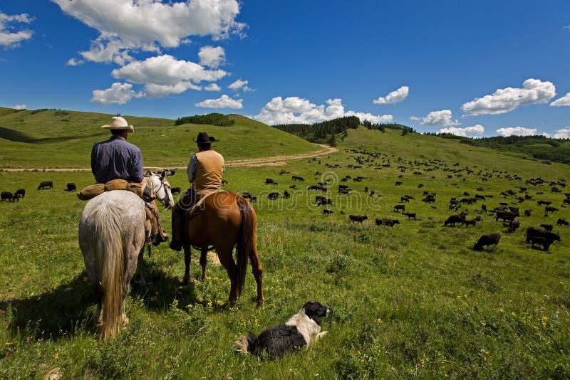 Lecteur de bétail images stock