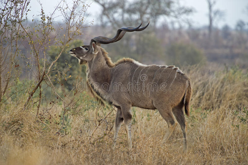 Lecture rapide Kudu Taureau photographie stock