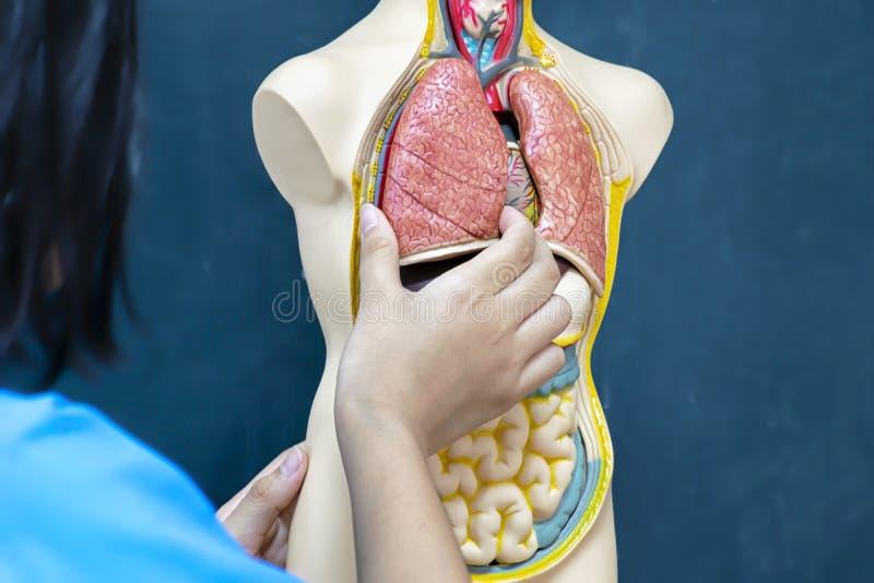 Leczenie ludzie, zdobycza płuca model lear po to, aby fotografia stock