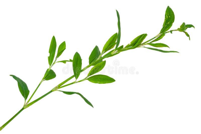 lecznicza roślina Knotweed obraz royalty free