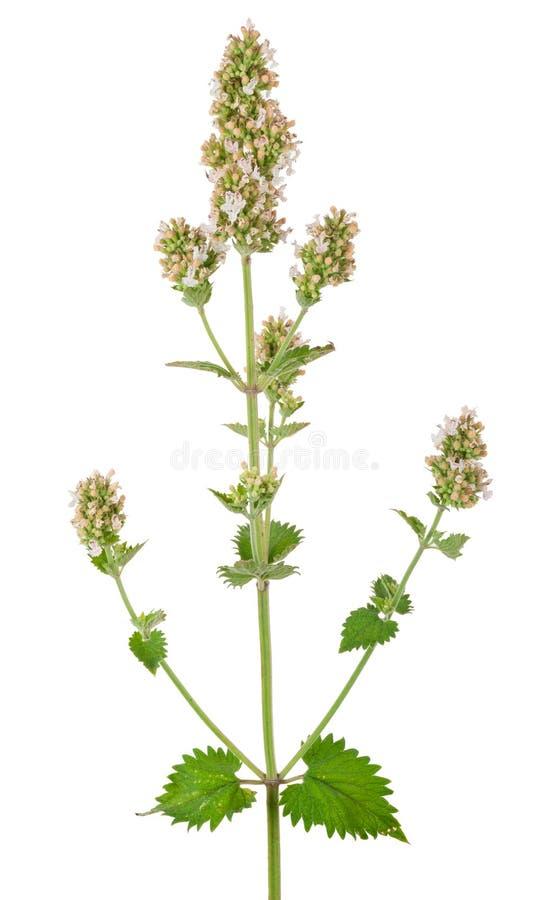 Lecznicza roślina: Miętówka zdjęcie royalty free