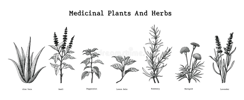 Lecznicze rośliny i ziele wręczają rysunkowego rocznika rytownictwa illust ilustracja wektor