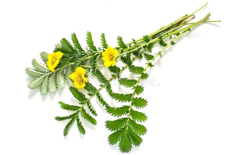 Leczniczej rośliny Silverweed (Potentilla anserine) zdjęcia stock
