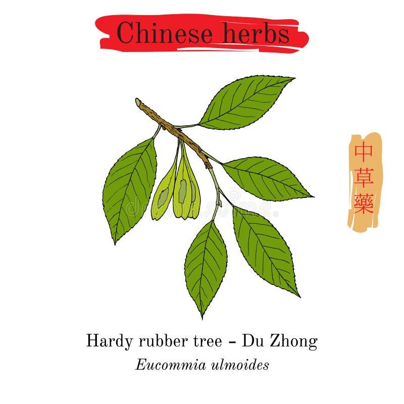 Leczniczy ziele Chiny Zimnotrwały gumowy drzewo ilustracji