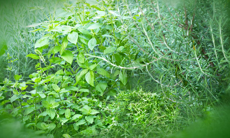 Leczniczy ziele i pikantność fotografia stock