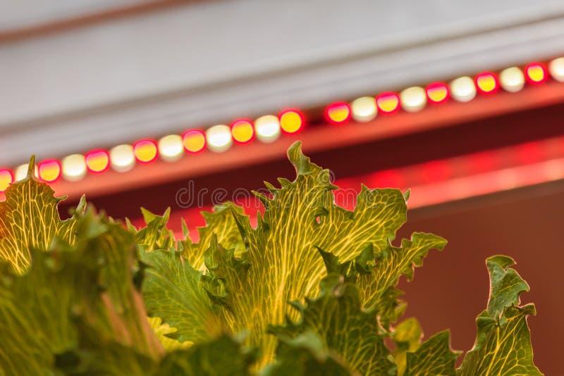 LED-Beleuchtung verwendet, um Kopfsalat anzubauen lizenzfreies stockfoto