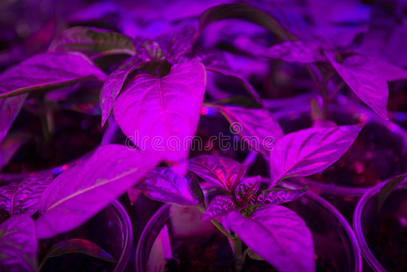 LED lighting Grow plants. Cultivation of fresh basil and pepper with red and blue leds. The basil is grown without daylight, the leds provide light that plants royalty free stock image