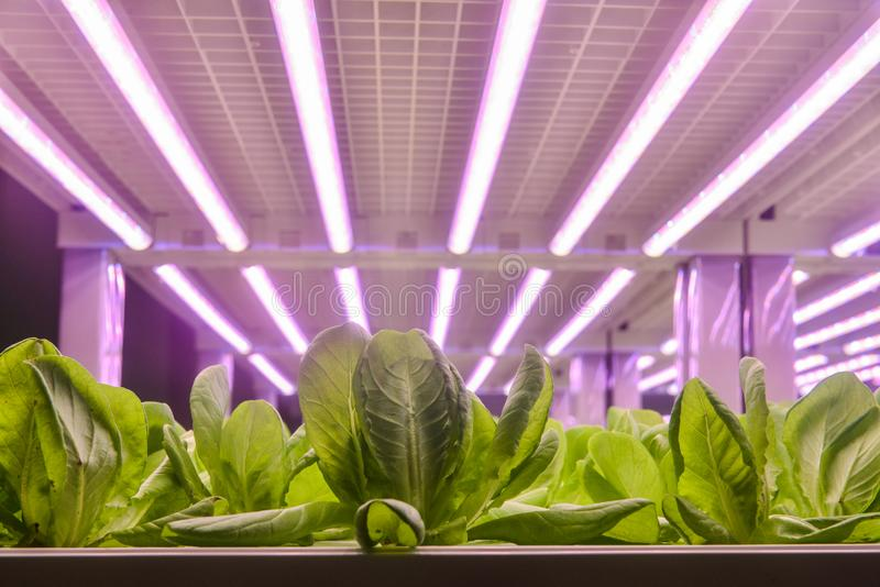 Romaine lettuce grow with Led Light. Led plant growth lamp used in Facility agriculture,Vertical agriculture,Indoor planting,Plant factory.Mimicking sunlight stock photo