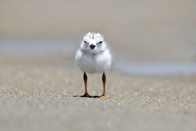 Leda i rör brockfågelfågelungen fotografering för bildbyråer